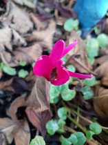 The magic of: Cyclamen