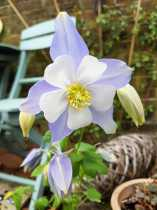 Columbine/Aquilegia magic