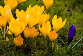 The magic of: Crocus