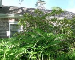 The Healing and Magical Wizard Solomon's Seal