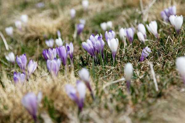Crocus Lawns & Indoor Miracles: Tips for Priming for Spring