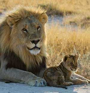 b2ap3_thumbnail_lion-with-cub.jpg