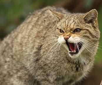 b2ap3_thumbnail_scottish_wildcat.jpg
