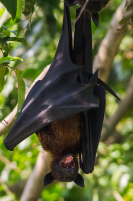 Indian Flying Fox: Fearless Exploring