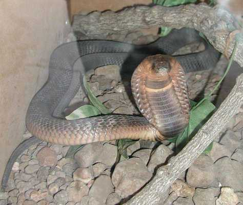 EGYPTIAN COBRA: Power and Protection