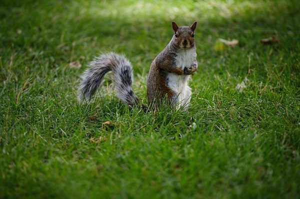 Grey Squirrel Wisdom: Past, Present, and Future