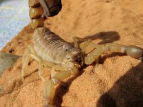 FATTAIL (FAT-TAILED) SCORPION: Power of Life and Death