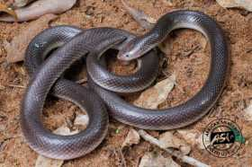 STILETTO SNAKES (Mole Vipers, Burrowing Asps): Expect the Unexpected