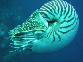 Chambered Nautilus: Sacred Geometry