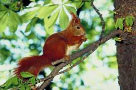 Eurasian Red Squirrel: Living With Ordinariness and Wonder