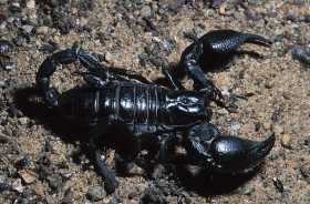 "EMPEROR SCORPION (IMPERIAL SCORPION): Defying ""Common Knowledge"""