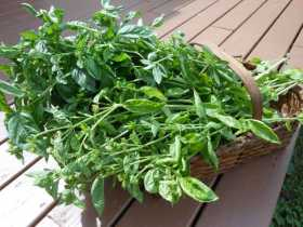Harvest Magic: Basil