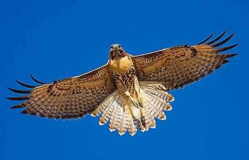 b2ap3_thumbnail_red-tailed-hawk-i.jpg