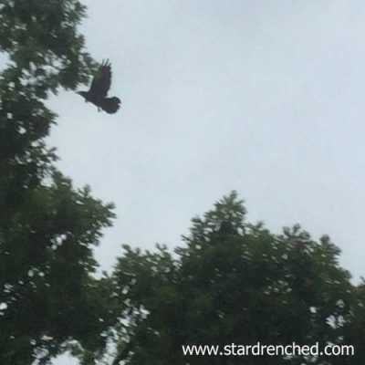 Bad Photo of a Crow or Raven