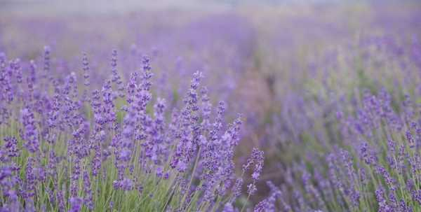Foundations of Incense: Lavender