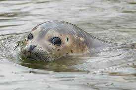 Seal Maiden
