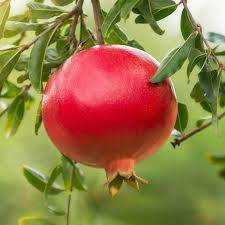 The Pomegranate Tree: A Carol by Robert Graves