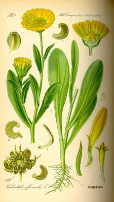 Sweet Calendula