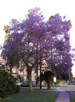 The Jacaranda is the Queen of Spring!