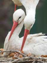 White Storks in European Traditions and Stories
