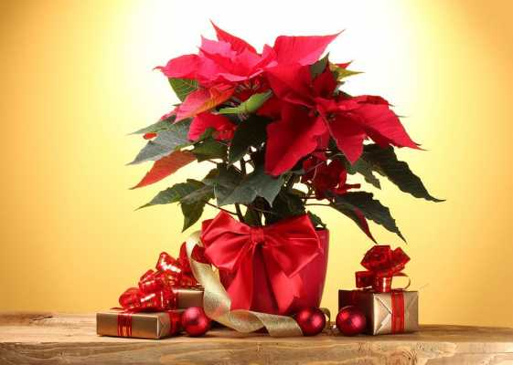 A Pagan Perspective on the Poinsettia