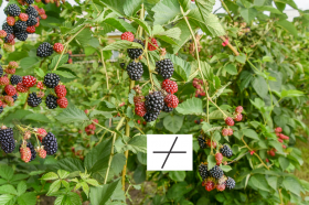 The Magical Vine: Blackberry