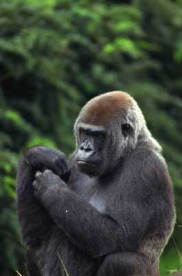 GORILLA: Calmness and Strength