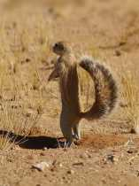 CAPE GROUND SQUIRREL: Doing What Works