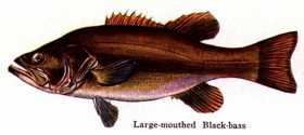BLACK BASS FAMILY: Passion