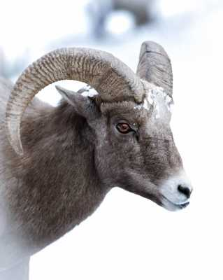 Aries Spring Equinox: The Ram