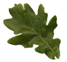 Foundations of Incense: Oak