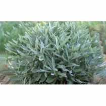 Foundations of Incense: Sage
