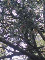 Celebrating the mistletoe