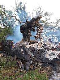 Did the 500-Year Old Whiteleaved Oak Burn Because of a Pagan Offering?