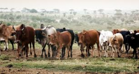 There is No Life Without Cattle: A Maasai Tale