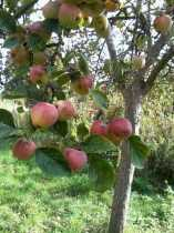 The Apples of the Avalon...  a search for the soul.